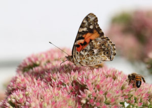 Painted Lady, Honeybees and Sedum
