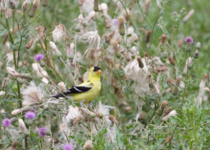 Goldfinch in the Fall